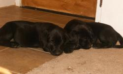 I have five 8 wk. old lab puppies who are in need of a loving home. They have their first round of shots and de-worming done. There are 2 black females, 1 yellow male, 1 yellow female and 1 chocolate female. They are super cute and very ready to meet