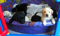 Beautiful Lab puppies for sale. 4 puppies left 2 black females, 1 black male and 1 yellow male. Great dogs for families with kids. They have already had their shots and been de-wormed. Ready to go to a loving family..