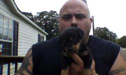 6 ROTTWEILER PUPPIES FOR SALE IN THERE 7TH WEEK HAVE RECIEVED THERE FIRST SHOTS MOM AND DAD BOTH ON SITE 3 MALES AND 3 FEMALES LEFT TO GOOD LOVING HOMES ONLY ALL REASONABLE OFFERS CONSIDERED WE ARE MORE CONCERNED WITH THEM GOING TO A GOOD SAFE HOME THAN