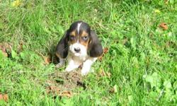 Goregous male and female Basset Hound puppies looking for a home. All can be registered, utd with shots, deworming and puppy pad trained. Super long ears, and sad droopy faces. These little ones are extremely social, and have been family raised. Very