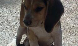 12 week old purebred Beagle puppies for sale. There are 4 males and 1 female which are all tri-colored and already vaccinated. Their father has a rare quality in which he points. Their mother has chocolate and bluetick coloring. Their father and