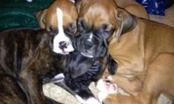 Purebred boxer puppies 12 weeks old. No papers! 2 girls, all difference in color. 1 brindle, 1 fawn with black face, all very sweet. Tail and dew claws removed. Call or text if interested. --