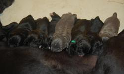 Purebred Italian Mastiff puppies born May 20 , 2010 ready to take home July 14, 2010. 1st shots, dewormed, tails docked, declaws removed and includeds a 2 yr health guarentee. Email ashstone2002@yahoo.com for more info on how you can adopt one of our