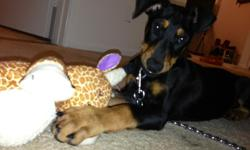 "Purebred Doberman Pinscher puppy.  Black & brown. Male. 12 weeks Dewormed 3x + ALL shots - I have all papers/ health records I am including all toys and food I have. I will also include a huge +40"" crate I bought for him.  I love him so much but"