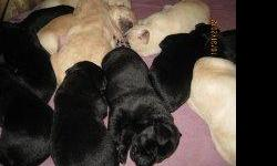 Pure Bred Labs for Sale Dew Claws, Shots, Papers 3 Black (1 Male 2 Female)     1 Yellow (Male) $175M    $195FM Ready Mid December