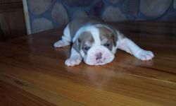 IOEBA REGISTERED KENNEL. PUPPIES BORN APRIL 12,2011 HAVE HAD TAILS DOCKED & DEW CLAWS REMOVED. THEY ARE UP TO DATE WITH ALL SHOTS AND WE ARE WORKING ON POTTY TRAINING. OUR PUPPIES ARE FROM GOOD BLOODLINES; VERY BULLY LOOKING; ARE RAISED INSIDE OUR HOME