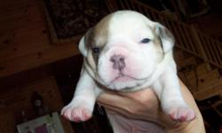 Purebred with registration papers from IOEBA. One male blue fawn born on April 12,2011 available. He is current on all shots. He is very bully looking, comes from good bloodlines, and has a great personality. We are working on potty training. If you are