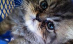 Purebred Persian Kittens. I have 6 kittens - 2 Females, 4 males, 9 wks old. Very playful and affectionate, well socialized, eating dry food and litter boxed trained. Have been raised with children and other pets. Health Guarantee is given with each