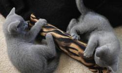 Russian Blue kittens, purebred and Pedigreed, with first vaccinations and worming. They are from a litter of a handsome sire and a beautiful svelte dam; both parents are perfect examples of the breed. Russian Blues have a double coat, which makes them