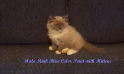 Eight Beautiful Purebred Show Quality Ragdoll Kittens dob 01/06/10 Available NOW!!! Parents are TICA registered from a Prestigious Show Cattery. Kittens are well socialized around other cats, dogs, and small children. These little beauties go to their new