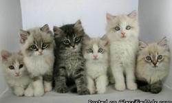 Our kittens are raised as part of the family and are be used to children, dogs and other house hold noises. They are fun loving, mischievous and affectionate with individual personalities. Their social and litter skills are learned from their mother who