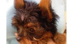 Purebred Tea Cup Yorkshire Terrier Puppy 1 lb 4 ounces only at 14 weeks old !!! 14 Weeks Old, C.K.C Registered Dewormed,Dew claws Removed 1st Set of Shots, 100% Health Guarantee 100% Buy Back Protection Ears Standing Up Perfect,Full Coat This Litte Male