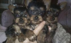 Purebred Toy Yorkshire Terrier Puppy's 12 Weeks Old, C.K.C Registered Dewormed, Health Guarantee 100% Buy Back Protection Ears Standing Up Perfect,Full Coats Pups will Be Between 3 lbs and 5 lbs Fully Grown !!! Parents Can Be Seen, Mother 5 1/2 LBs,Father