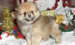 "Visitors Welcome: Hug-A-Pup ""The Puppy Specialist""  4950 W. Irving Park Rd. Chicago,Il. 60641...(JUST OFF 90/94) Please Call: ""Susan""  -- or  --. Gorgeous Pomeranian puppies. FEMALES, Orange. Shots/Worming UTD. Prespoiled and Well"