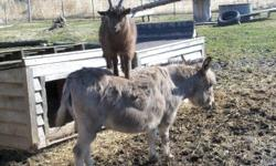 I have a young, male pygmy goat about 1 year old for sale to a good home only. He is brown and very social. He gets along well with other goats and donkeys. He is not neutered. He is very active and needs a home that would provide more socialization.