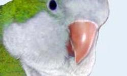 What a little cutie this Quaker (also called monk parrot) is. ?Peepers? is 18 years old but you?d never know it. He has good energy (not hyper) and enjoys being held and petted. We won?t ship. Wings of Love, Inc. is a Missouri 501(c)(3) not-for-profit