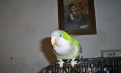 """Female Quaker Parrot, she is mostly green with grey on chest, blue's & different greens on her tail feathers. She is tame, she whistle's diffrent tunes, she mocks you, she say's """" Pretty Bird """" She tries to mock people when they laugh & when she copies"""