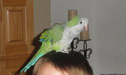 Beautiful, female quaker parrot, with a great personality, talks and laughs!