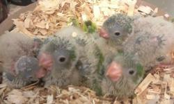 We are currently hand feeding 4 super sweet green quaker babies. They are $150 each FIRM. We are accepting deposits of $50 to hold one until it is weaned. www.ArtemisAviary.webs.com   Located in Milton, Florida