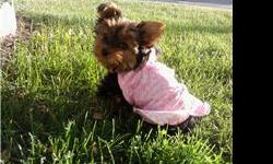 DARLING AKC YORKIES 4 SALE Born OCT 17,2010 2Females /3 Male Puppies come with AKC Papers and Pedigree /Champion bloodlines Both Parents are Apr also. So puppies can be Registered Apr to. 1 YEAR Health Guarantee, Shots De~wormed Also includes a puppy care