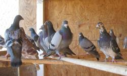 ****Beautiful Racing Pigeons & Messenger Pigeons for Sale**** Only a few Racer Pigeons are available so hurry they wont last.. Champions Bloodline (Janssen, Waterhouse and Van Reet Bloodlines) NOTE: Pedigrees available for an extra $$$!!! 600+MIles birds