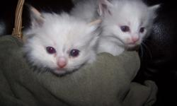 TICA Tortie Female Ragdoll kittens. They were born on March 1, 2011. Their father is a TICA Flame point Ragdoll and their mother is a TICA blue bicolor Ragdoll. Ready for their new homes on May 10, 2011. Parents have been FELV/FIV tested ? negative. TICA