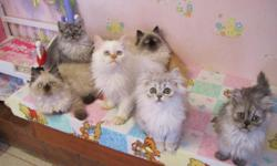 Hi, This is Francy & we have been raising the most beautiful Ragdoll, Persian & Himalayan kittens in the world at our 4-Star Cattery in Lafayette Louisiana since 1978. www.CatsByFrancy.com is our website for pictures, ages, colors, prices, Champion