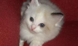 RAGDOLL KITTEN: Seal bi-color female born April 21st. All shots and worming. TICA registered. Litter box trained and completely socialized. Great with kids and dogs. We will deliver within a reasonable distance.