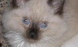 We currently have one 9 week old male seal point Ragdoll available. He is vaccinated, dewormed, litter trained, and well socialized with other cats, dogs, and children. Visit www.rileysragdolls.com for more information.