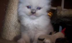 Born Feb. 15, 2011 He will be ready for his new home on April 28th or later. A TICA blue mitted male kitten. The mother is a tortie Ragdoll and the father is a blue mitted Ragdoll. All my cats are very social and very spoiled. The parents are TICA