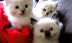 10 fluffball ragdoll kittens born June 15th taking deposits now, ready for their new families August 3rd. Parents on premisis raised with children and dogs. All kittens will be vet certified and have their first set of shots and deworming. All kittens