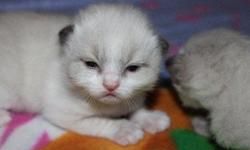 I am a small local ragdoll breeder I am taking deposits on kittens ready to go 4/5/2011. 7 males available lots of color and patterns to choose from . All kittems will have there first deworming and vaccs before they leave here . kittens are raised