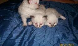 We have a litter of seal colored Ragdoll kittens for sale. There are 3 females and 2 males and they were born on August 9th. We are currently accepting deposits on these adorable babies. Visit www.rileysragdolls.com for pictures and more information.