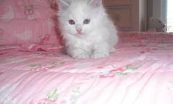 We have the beautiful ragdoll kittens raised in our homeunderfoot kids prespoiled before ever leaving our home see our website for kittens available www.rustsragdolls.com -- full health guarantee