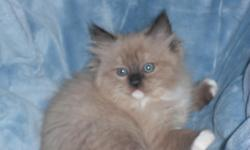 We have the beautiful blue eyed ragdoll kittens along with the ultra soft and rare mink ragdoll kittens raiesed in our home underfoot kids with lots of tlc. Full health guarantee see website for kittens available www.rustsragdolls.com or call 1---