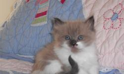 We have the beautiful blue eyed ragdoll kittens along withthe ultra soft mink ragdoll kittens raised in our home underfoot kids with lots of TLC see our website for kitten availability www.rustsragdolls.com or call 1--- full health guarantee