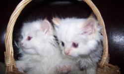 Born Feb. 11, 2011 Ready for new homes on April 22, 2011 There are two TICA Ragdoll flame male kittens ??available to good homes. There are three Flame , one seal bicolor male and one seal bicolor female in the litter. Asking $600.00 TICA recommends 10