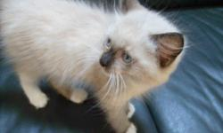Adorable Ragdoll male kitten, born October 11, 2010. There is just one mitted seal point male still available. He has been tested for FeLV (feline AIDS) and FIV (feline HIV). The kitten is registered and will come with his first shots, worming and health