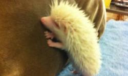 I have a couple albino hedgehog babies ready for sale. Our hedgehogs are healthy, nice. If you are interested please call 954-237-7901, leave a message & I'll call you back. We are a USDA Licensed Hedgehog Breeder in Fort Lauderdale. Thank you.