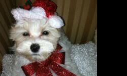 We are ready to be your Christmas Gift! Mi-kis are a small, rare, toy breed dog. They grow between 4 - 7 lbs. Their mom weighs 5 lbs. and their dad weighs 4 lbs. They are 13 wks old. TheWhite one with Apricot ears is 3.8lbs