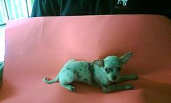 ACA Reg, Gray Merle Female for sale has had 1st and 2nd shots all wormings and comes with her shot record very loving and pritty girl 18-weeks old, father is 3-1/2- pounds mother is 3-pounds she is 3-poundsfor $80.00 WE ALSO have a Blue Merle Male,for