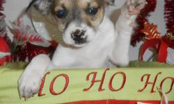"""~*~OPEN 7 DAYS~*~Credit Cards Welcome. BEST Guarantees. Visitors Welcome: Hug-A-Pup """"THE PUPPY SPECIALIST"""" 4950 W. Irving Park Rd. Chicago,Il. 60641...( JUST OFF 90/94 ) Please Call: """"Susan"""" -- or"""" --. Gorgeous Toy Rat Terrier puppies. Extremely"""