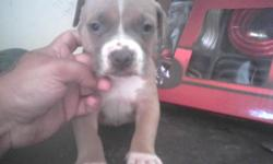 I JUST HAVE 2 MALES big chest big head their razor edge puppies call for more info u can text me 323-237-4881