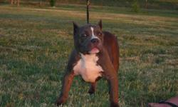 American bully 4 mo old blue puppys, 2 males 1 female. 405-625-1285