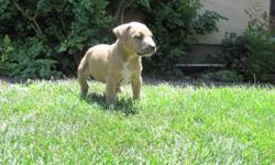I have 5 males and 3 female blue nose bullies for sale. They come with their papers from the UKC. If you have any questions feel free to contact Atiyeh at (408)229-3161 (please text if possible) These puppies are for sale in the range of 500. This is the