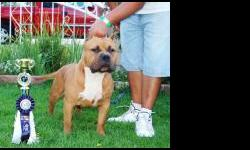 I HAVE 1 MALE 2 FEMALES UKC REGISTERED OFF OF MASTERMIND...... MASTERMINDS ON TOP LEFT ... A DIRECT MR GRIMM SON TO A DIRECT GOTTI DAUGHTER THESE ARE BULLY BULLY SHORT AND THICK IF INTERESTED CALL 702 504 6893......THESE ARE SHOW STOPPERS GARANTEED