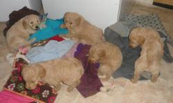 There are three males, $650, and one female, $800, left in this litter. They are a beautiful oatmeal cream color. (They may darken with reddish tints, because the sire is a dark red golden retriever.) The dam, Lisel, is an AKC registered Standard Poodle,
