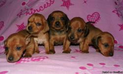 I have 1 male and 3 female red dachshund puppies for sale. They are 7 weeks old. They have had their first shots so far and are wormed, and are ACA registerable. Have been raised inside our home and around our 5 children, so they are very friendly and