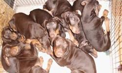 Red Doberman puppies for sale: ? 4 males ? 1 female ? Pure Bred ? Tails Docked ? Dew Claws Removed ? Health Certificate & Medical Records available ? Mother on Sight ? Pictures of Father available If you are interested, please call 2095136969