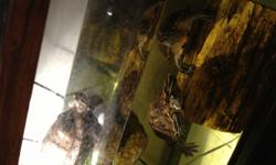 Three large red eared sliders need a good home. Price negotiable